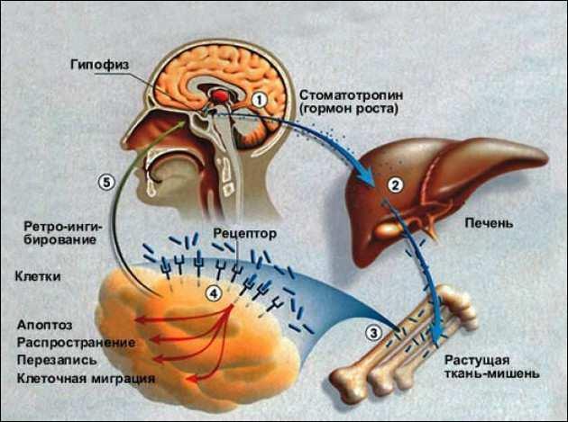влияние гормона роста на метаболизм_vlijanie gormona rosta na metabolizm