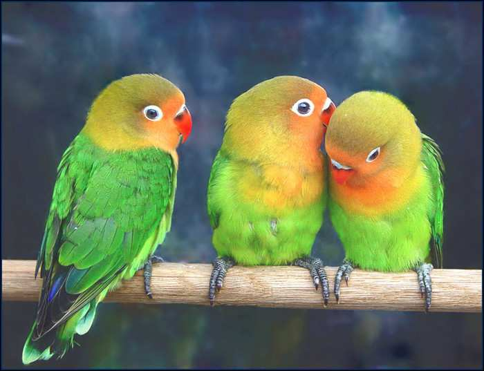 волнистые попугаи_volnistye popugai