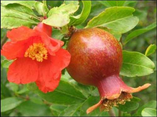 соцветие и плод_socvetie i plod