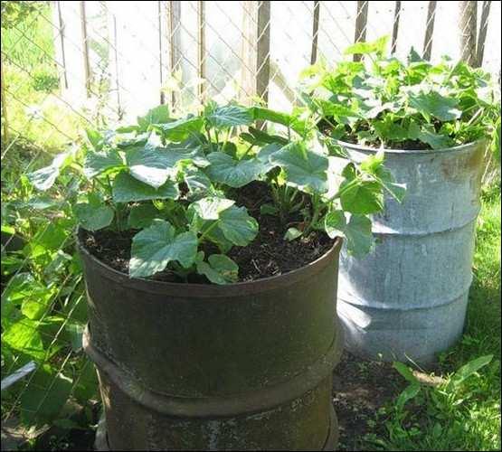 выращивание огурцов в бочках_vyraschivanie ogurcov v bochkah