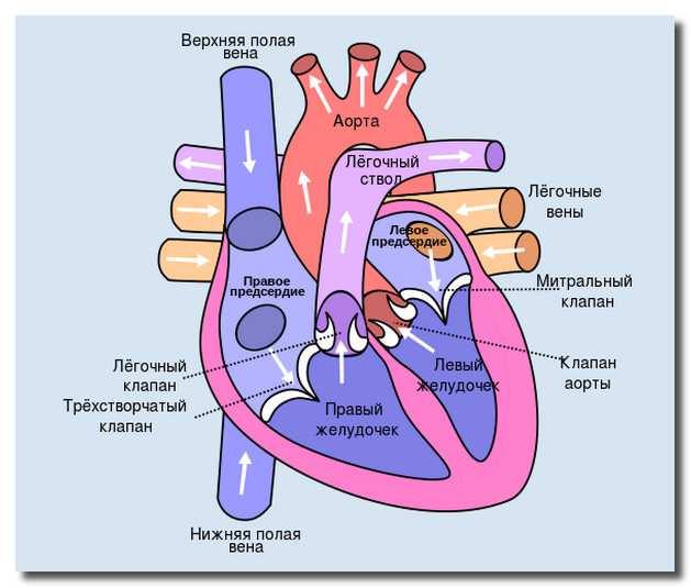 сердце_serdce