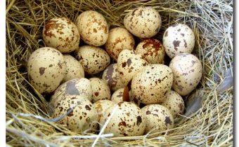 перепелиные-яйца-perepelinye-jajca