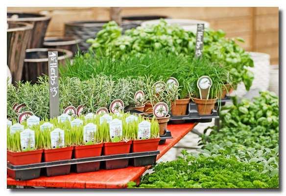 выращивание-пряностей-vyrawivanie-prjanostej