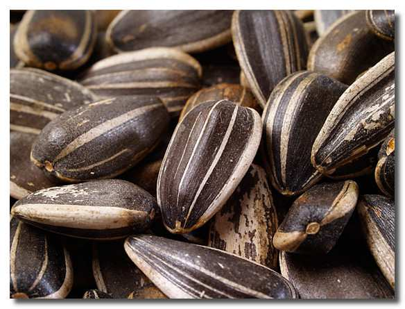 семена-подсолнуха-semena-podsolnuha