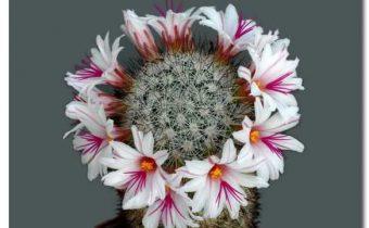 цветок-кактуса-cvetok-kaktusa