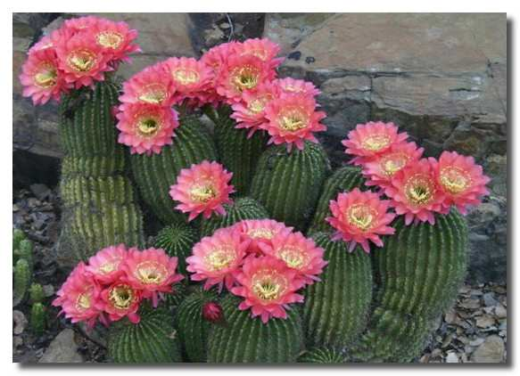 кактусы-цветут-kaktusy-cvetut