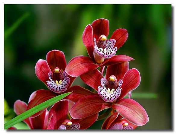 орхидеи-orhidei