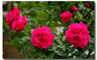 розовый-куст-rozovyj-kust